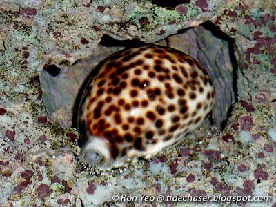 Tiger Cowrie (Cypraea tigris)