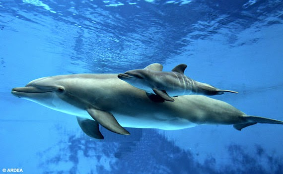 An adult dolphin with baby dolphin