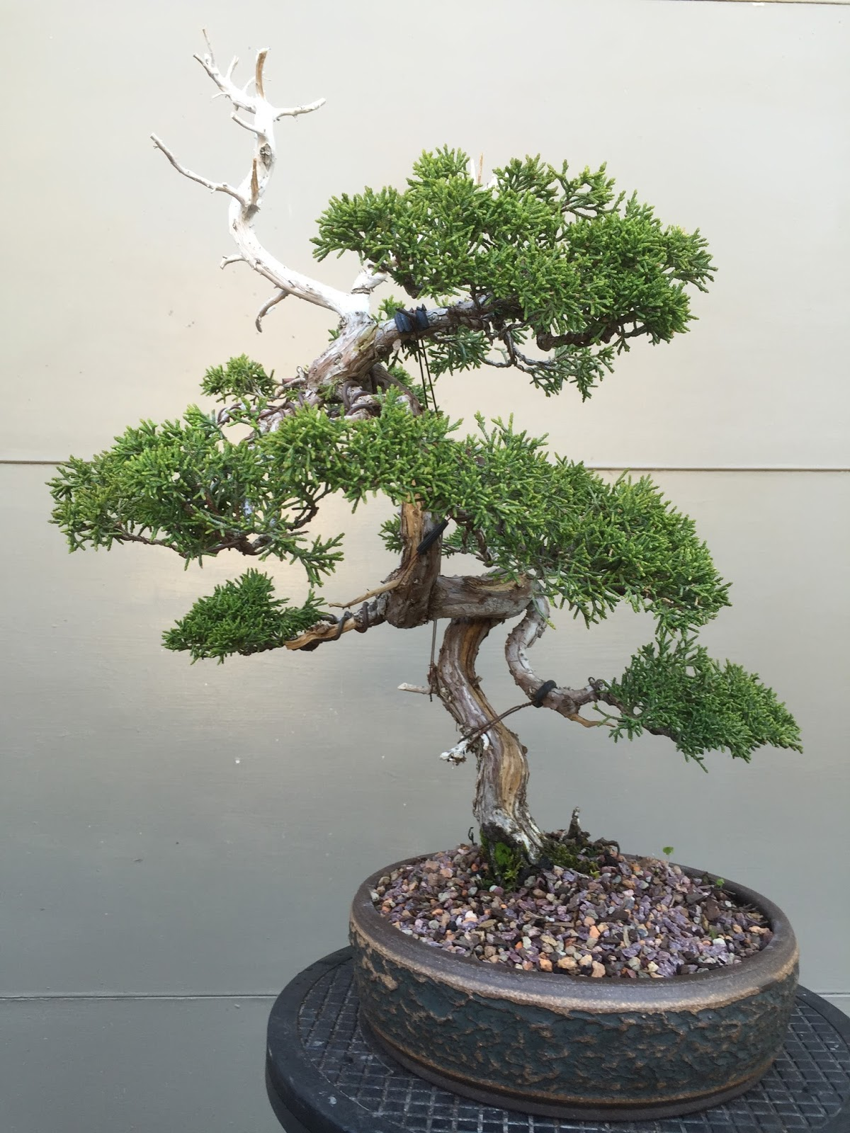 Itoigawa Shimpaku TGT Bonsai