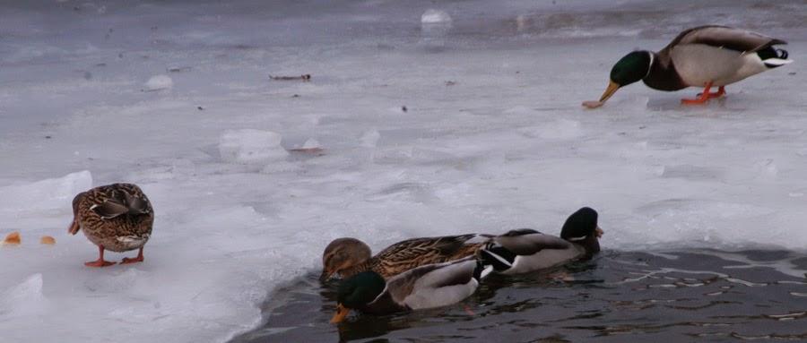 Фото Виталия Бабенко: дикие утки зимуют