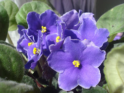 Violetas no meu blog