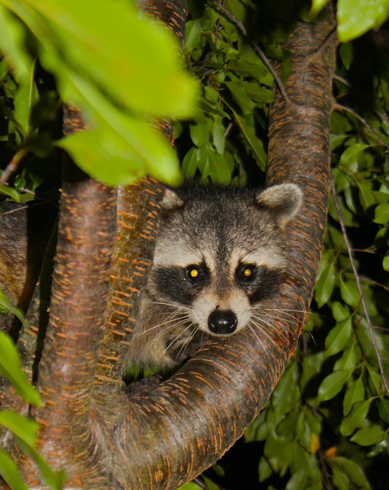 Raccoon Bandit | Phillip\'s Natural World