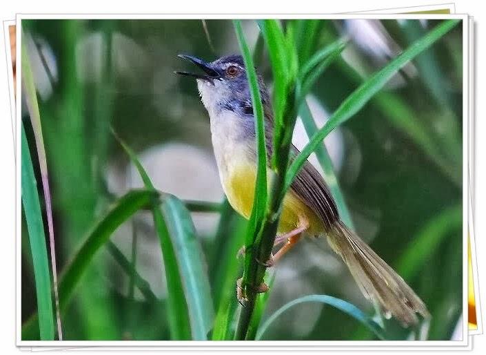 Bagaimana membuat burung ciblek menjadi cepat gacor ...