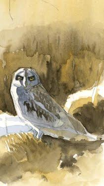 Short-eared owl, Finland