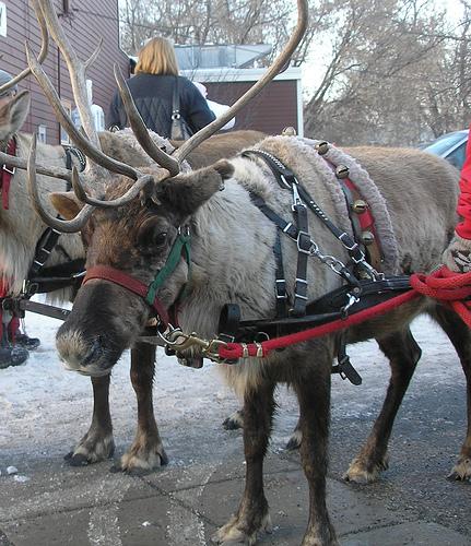 Reindeer Pics