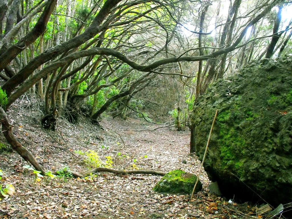 Bosque de laurisilva. Anaga