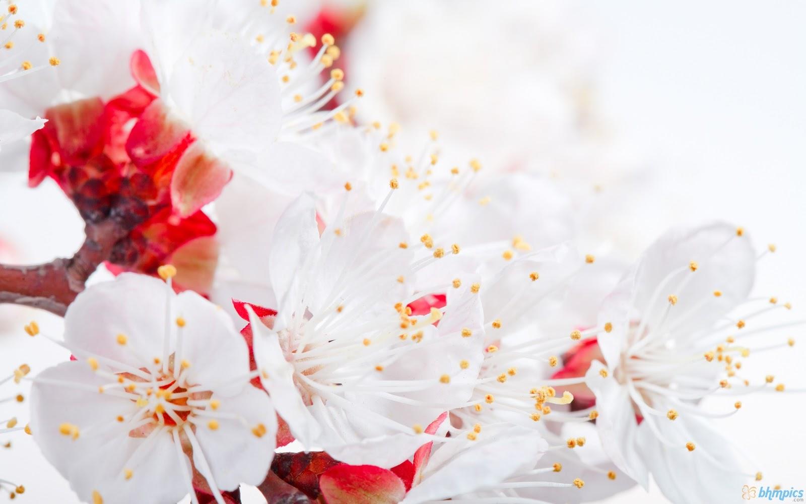 http://3.bp.blogspot.com/-5cLuQXTJeHw/ULxIqfTpI5I/AAAAAAAAH5c/4Q5Xl-kLg9s/s1600/spring_apple_blossom_branch-1680x1050.jpg