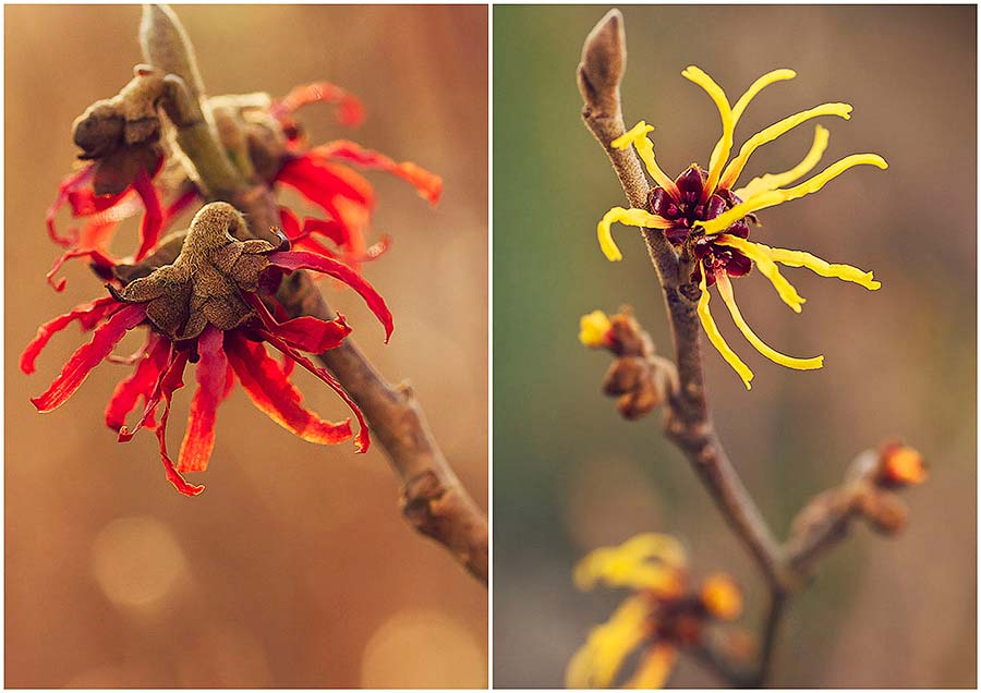 witch hazel Diane and witch hazel Orange beauty