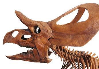 Zuniceratops skull