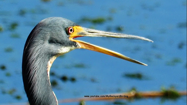 Tricolored Heron (Louisiana Heron)