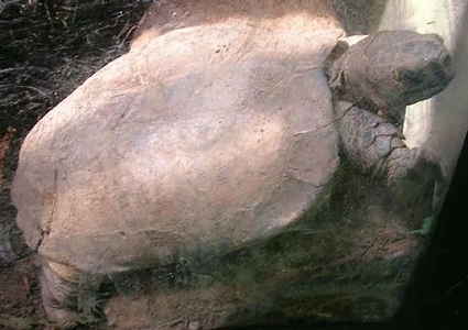 extinct-animals-rediscovered-caught-on-camera Arakan Forest Turtle