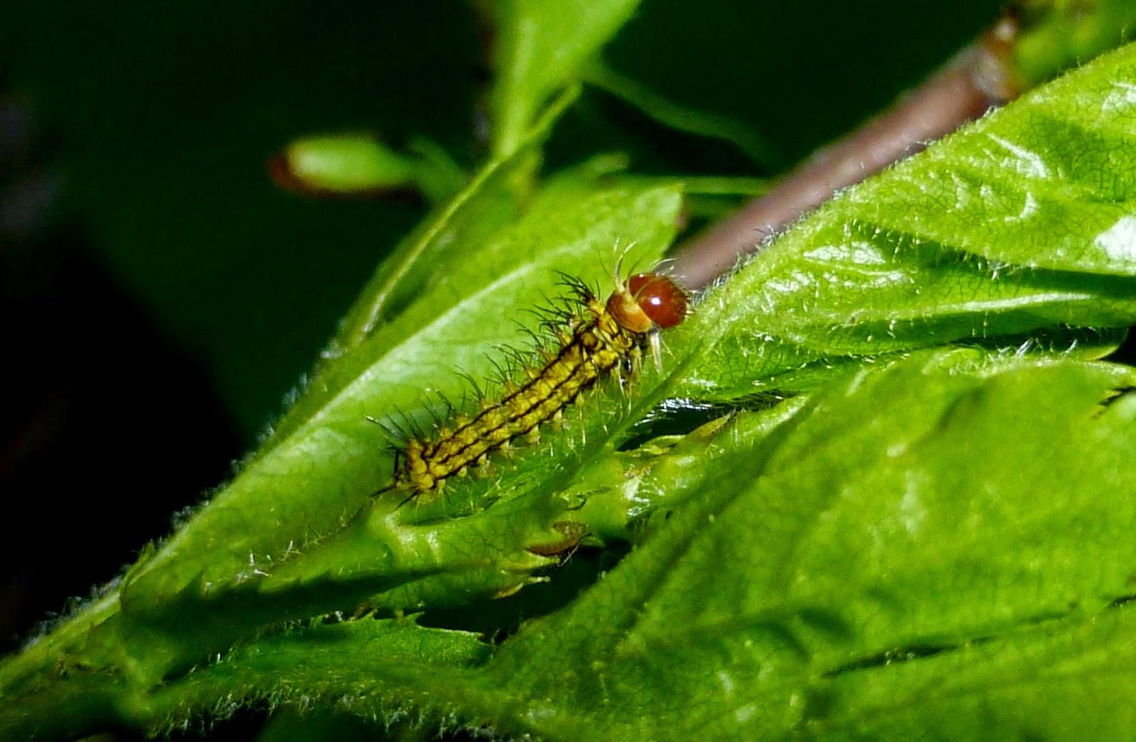 Antheraea yamamai caterpillar