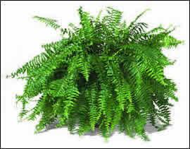 Proyecto ecol gico ecolba helechos filicopsida for Plantas ornamentales croto