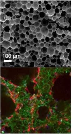 """Cientistas criam """"berço"""" para células-tronco"""