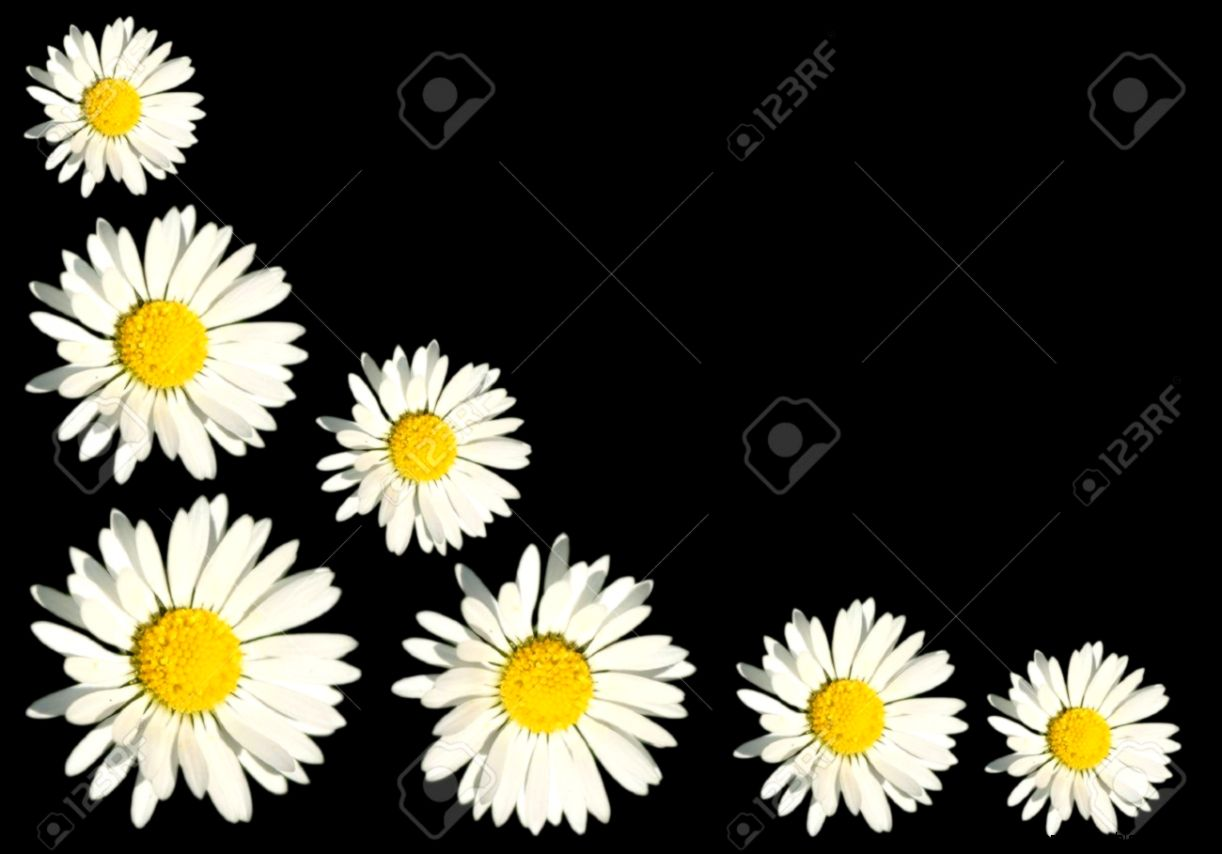Wild White Daisy Background Concept Stock Photo Picture And
