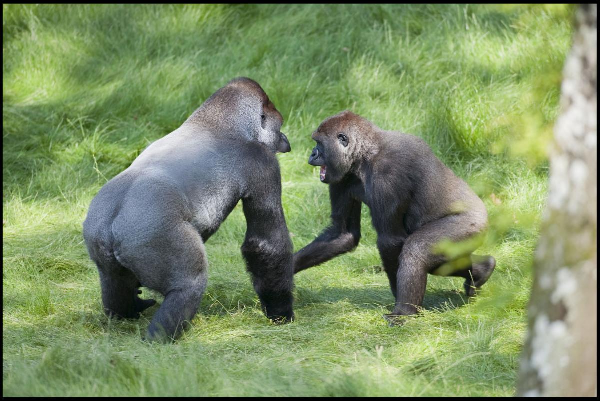 http://3.bp.blogspot.com/-5e98Bm72ivs/UC_ZhqBrW6I/AAAAAAAATDk/OJ72Mvclbp8/s1600/gorilla-brothers-reunited-after-3-years-apart-002.jpg