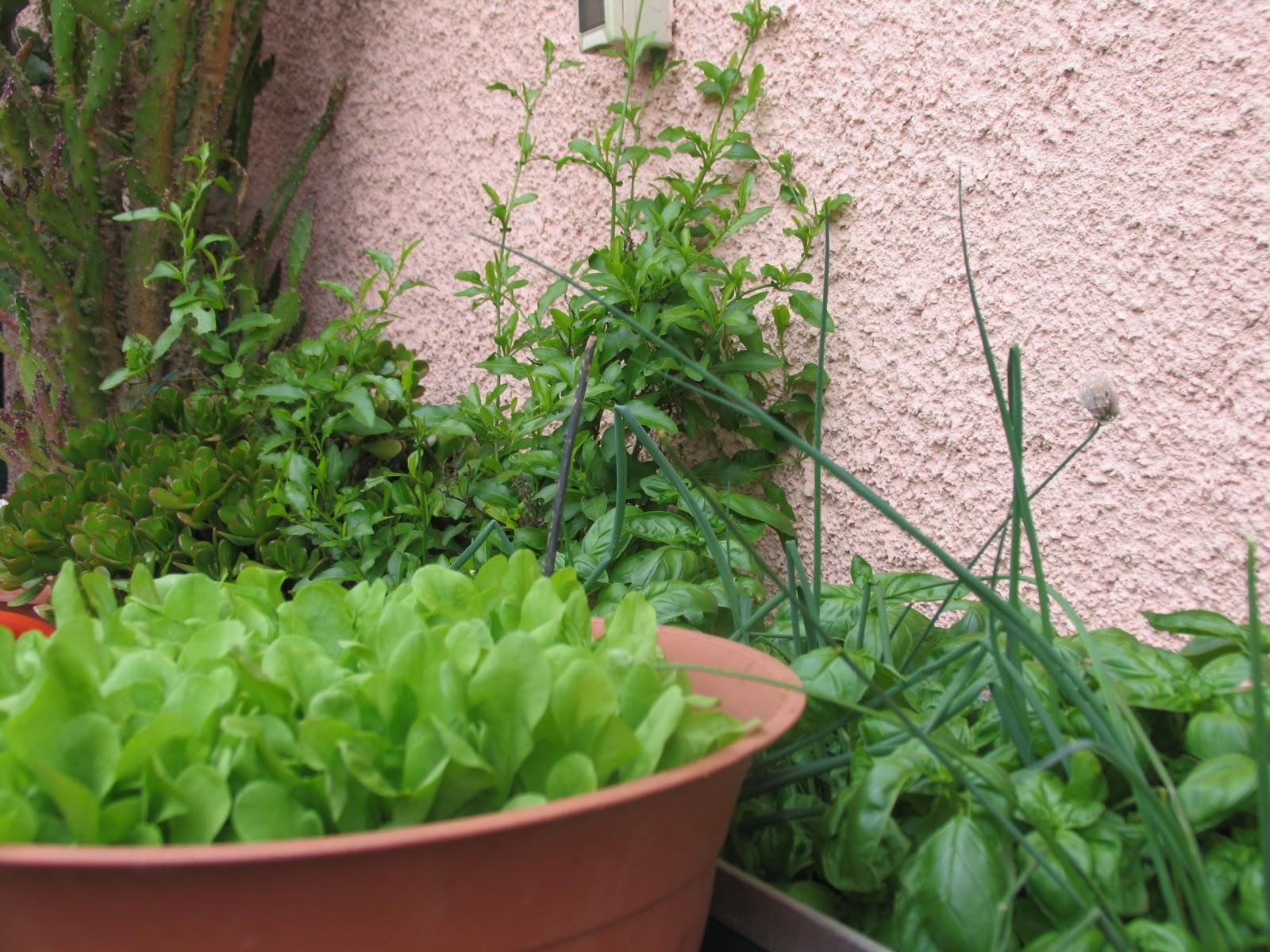 La magia di un piccolo orto orto in vaso for Insalata da taglio