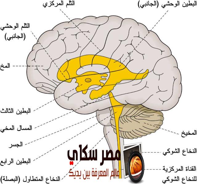 مما يتكون  الجهاز العصبى المركزى Central nervous system