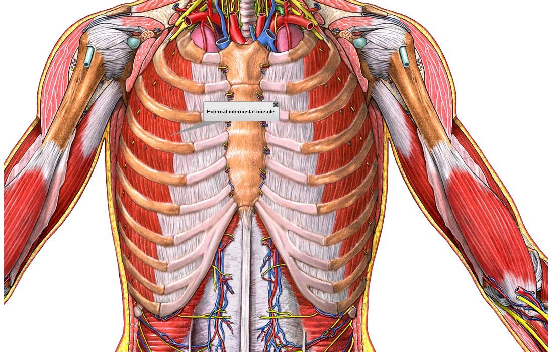 Sριcα[✭]sтαя○: Sistema Respiratorio - Practica No. 1
