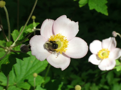 A bee feeding on a September Charm Japanese anemone flower by garden muses: a Toronto gardening blog
