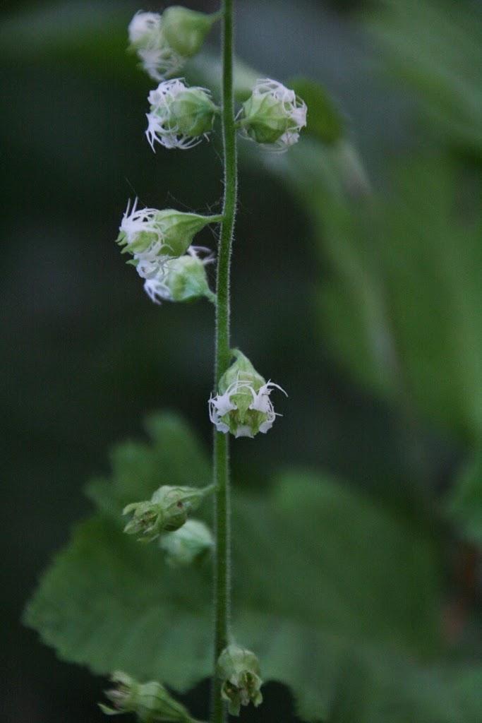 Fringe Cups (Tellima grandiflora)