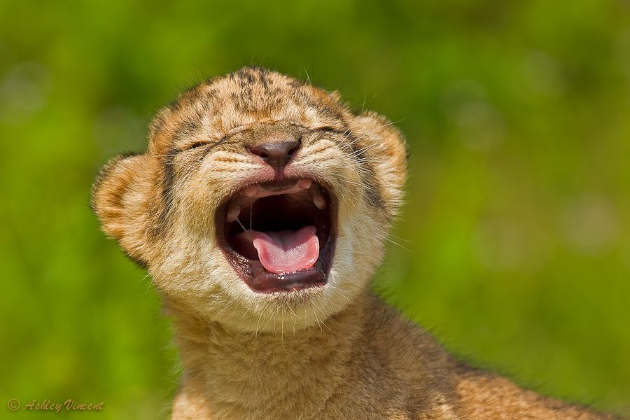 19. Roaring Practise by Ashley Vincent