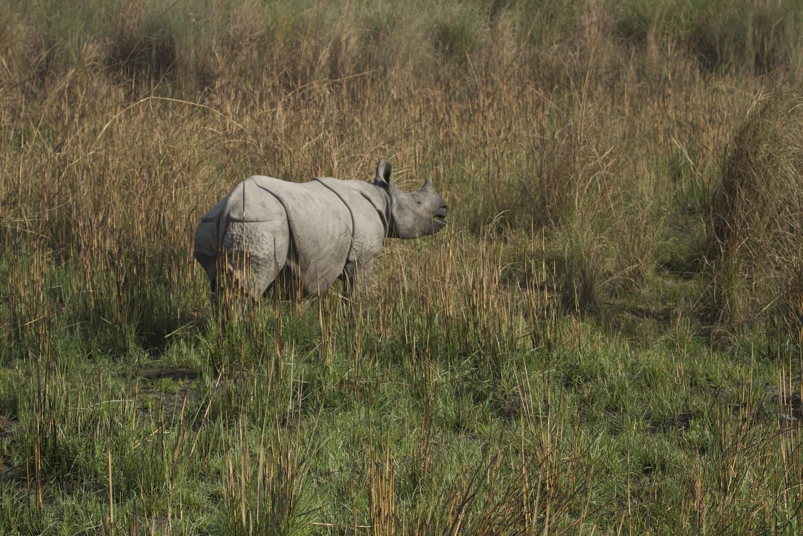 Dudhwa+Rhino+2.JPG