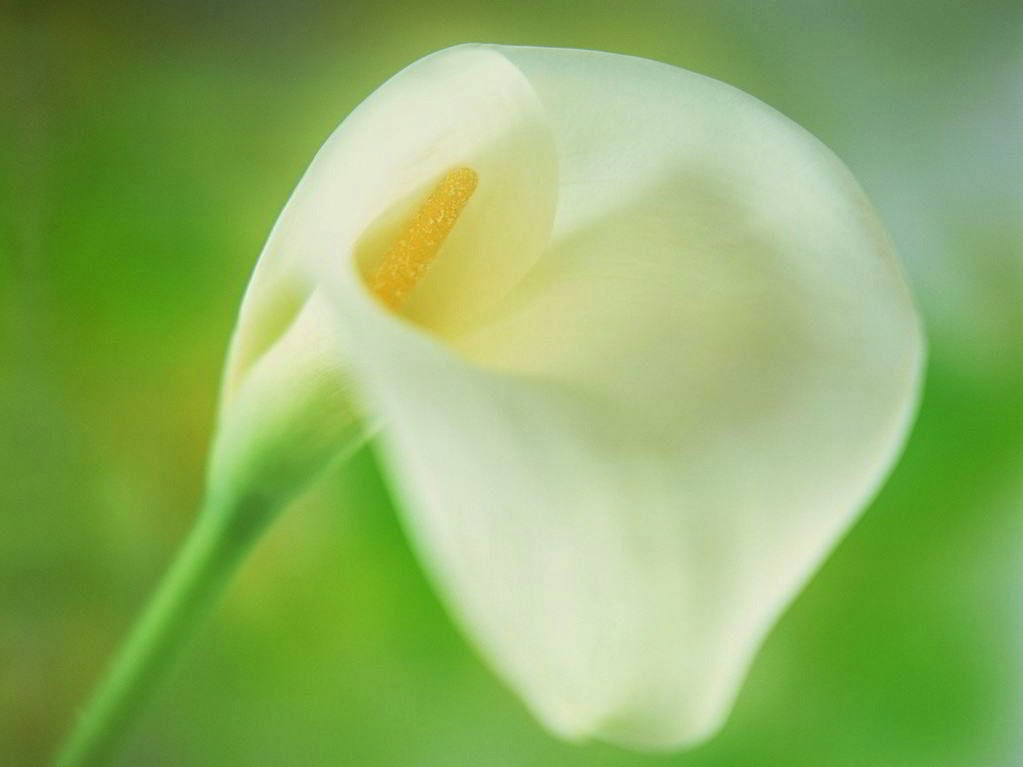 Calla lily flowers meaning planting care for Calla lily flower meaning