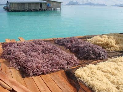 Khasiat Rumpai Laut Sabah Kolagen Rumpai Laut Asli Sabah