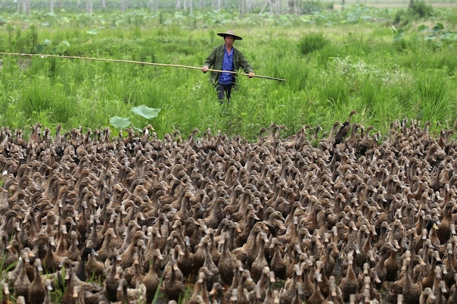 Farmers in China take their 5000 ducks out for a walk to a pond, funny ducks, animal news
