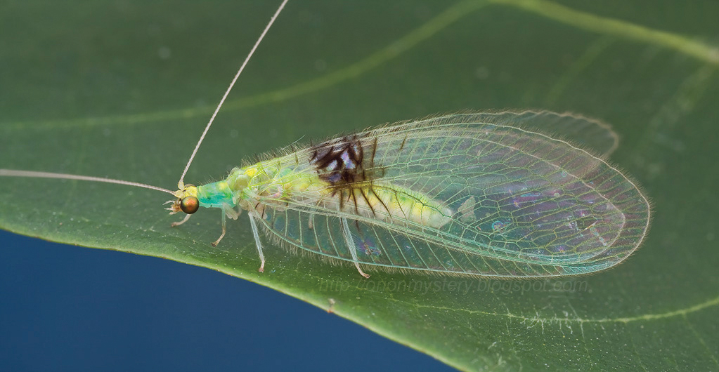 Sciency Thoughts: A new species of Green Lacewing ...