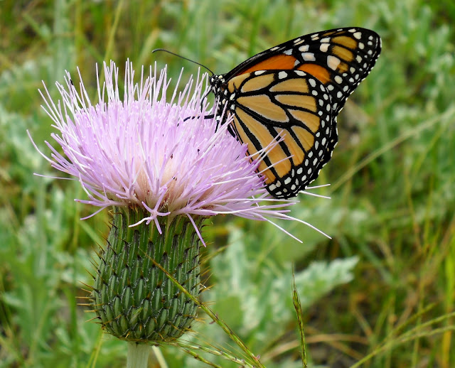 A Monarch butterfly nectaring on a Texas Thistle at Winfrey Point, White Rock Lake, Dallas, TX