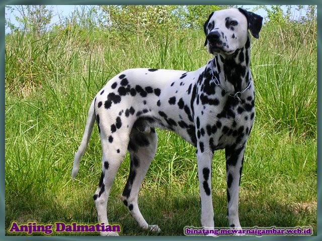 gambar anjing dalmatians