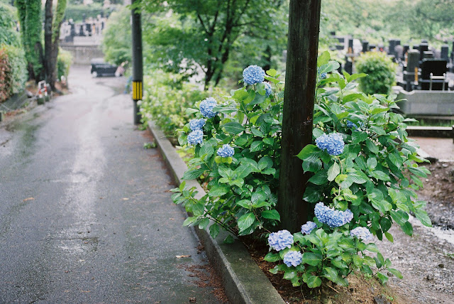 hydrangeas in roadside