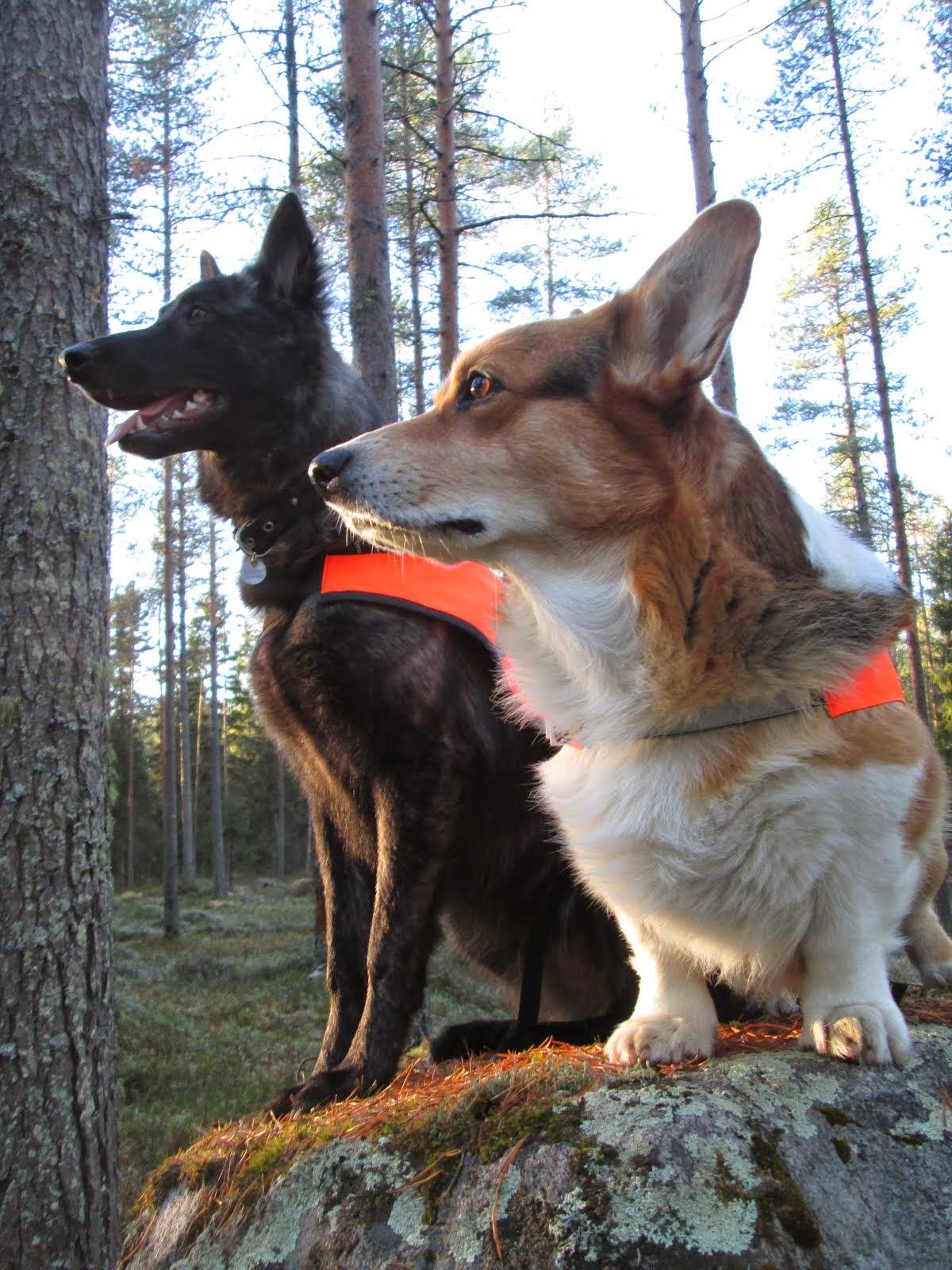 Koiran elämää