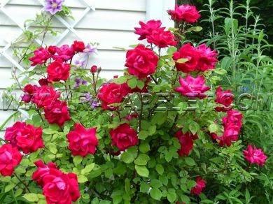 Tips mudah dan sederhana menanam mawarTips mudah dan sederhana menanam mawar