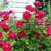 Cara Mudah Menanam dan Merawat Bunga Mawar