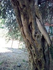 Tronco di olivo secolare...la foto è mia