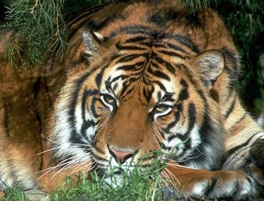 endangered species in vietnam south china tiger and asian elephant This list of endangered rainforest animals will  the giant panda populations are confined to south-central china  the asian elephant is under threat.