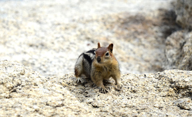 Chipmunk - Sequoia National Park, Californie, USA