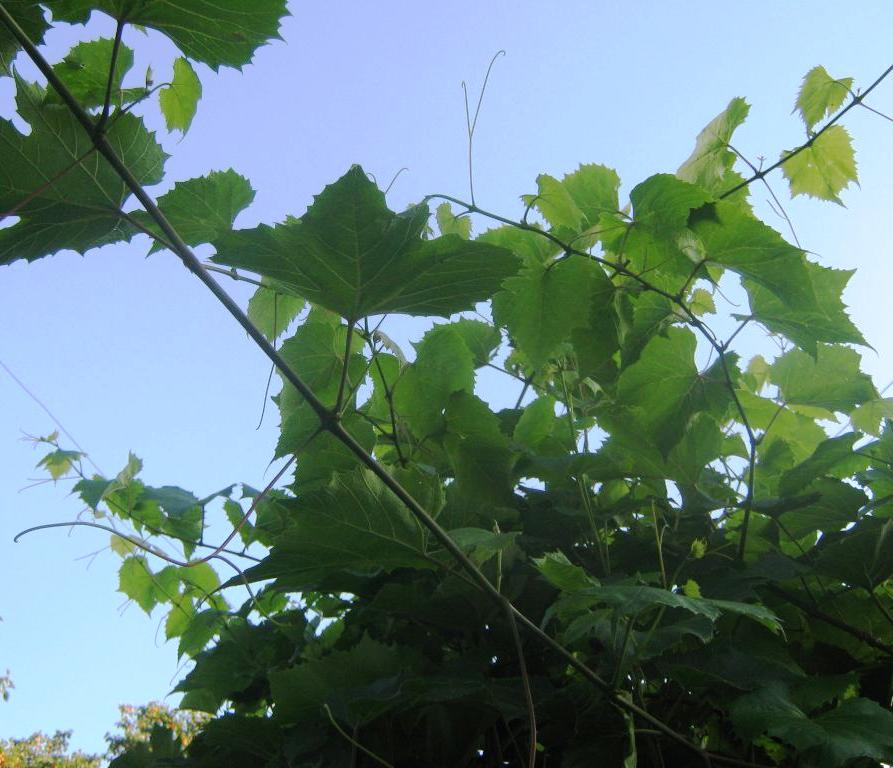http://www.kilka-porad.com/2013/07/crop-of-grapes-in-vegetation.html