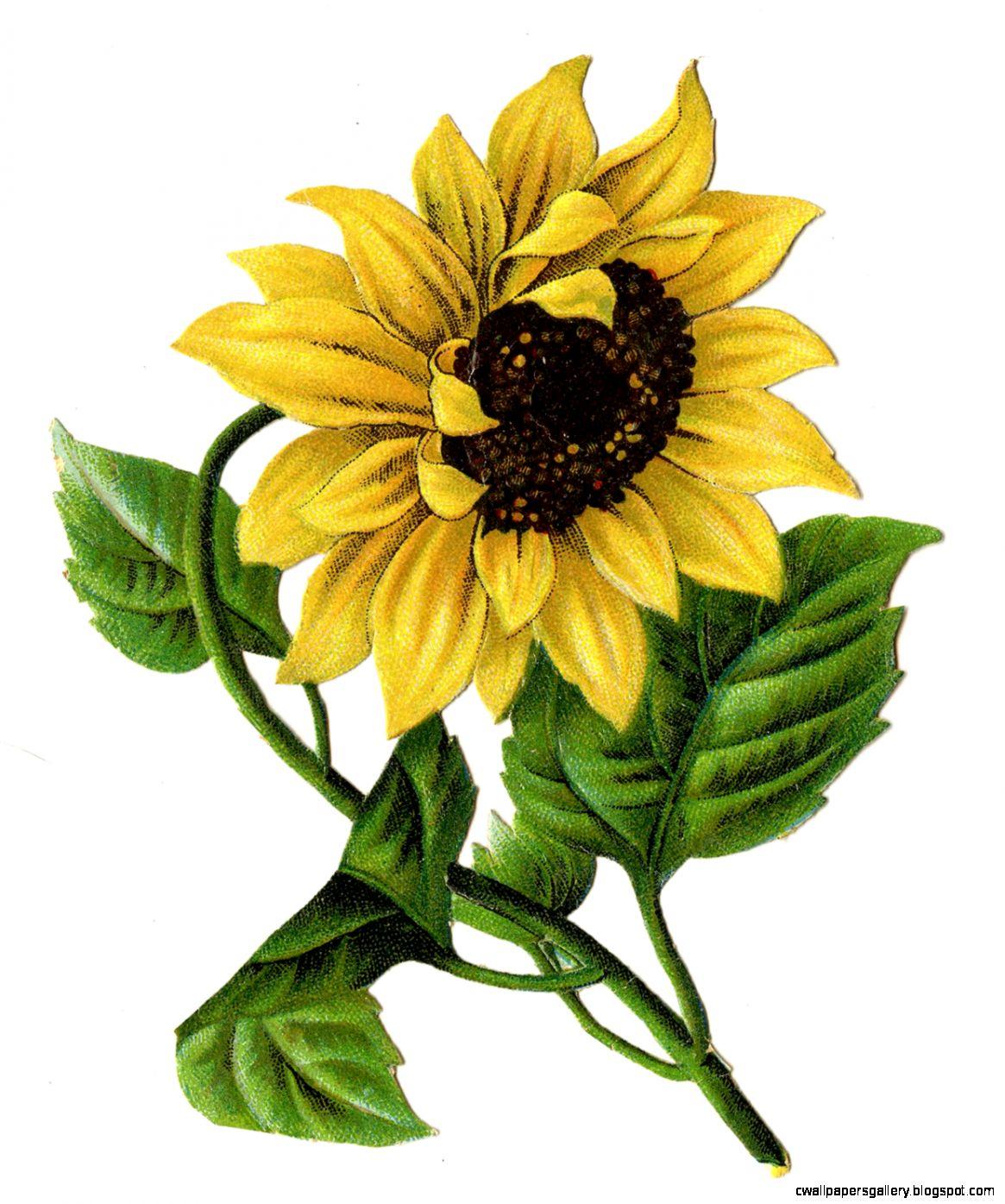 Sunflower Printable Clipart   Clipart Kid