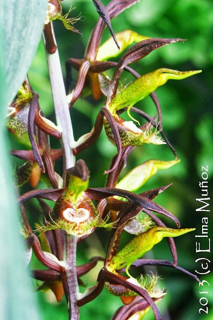 Catasetum saccatum. Fotos de orquideas de Elma Muñoz
