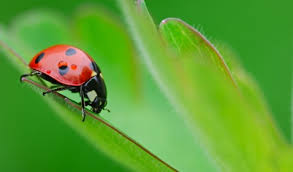 serangga yang dipercaya membawa keberuntungan