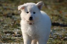 Witte Herder pup