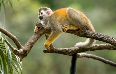 Mono araña en las selvas de Colombia - Monkey