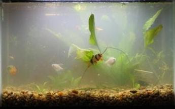 Giant gourami how to cycle a fish tank for Cycling a fish tank