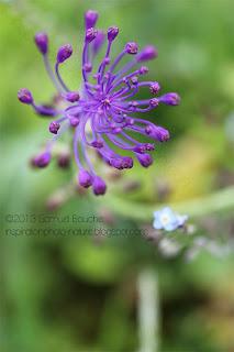 photo au jardin macro de fleur muscari et muscari à toupet