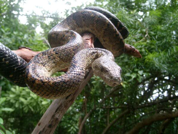 new images for anaconda snake
