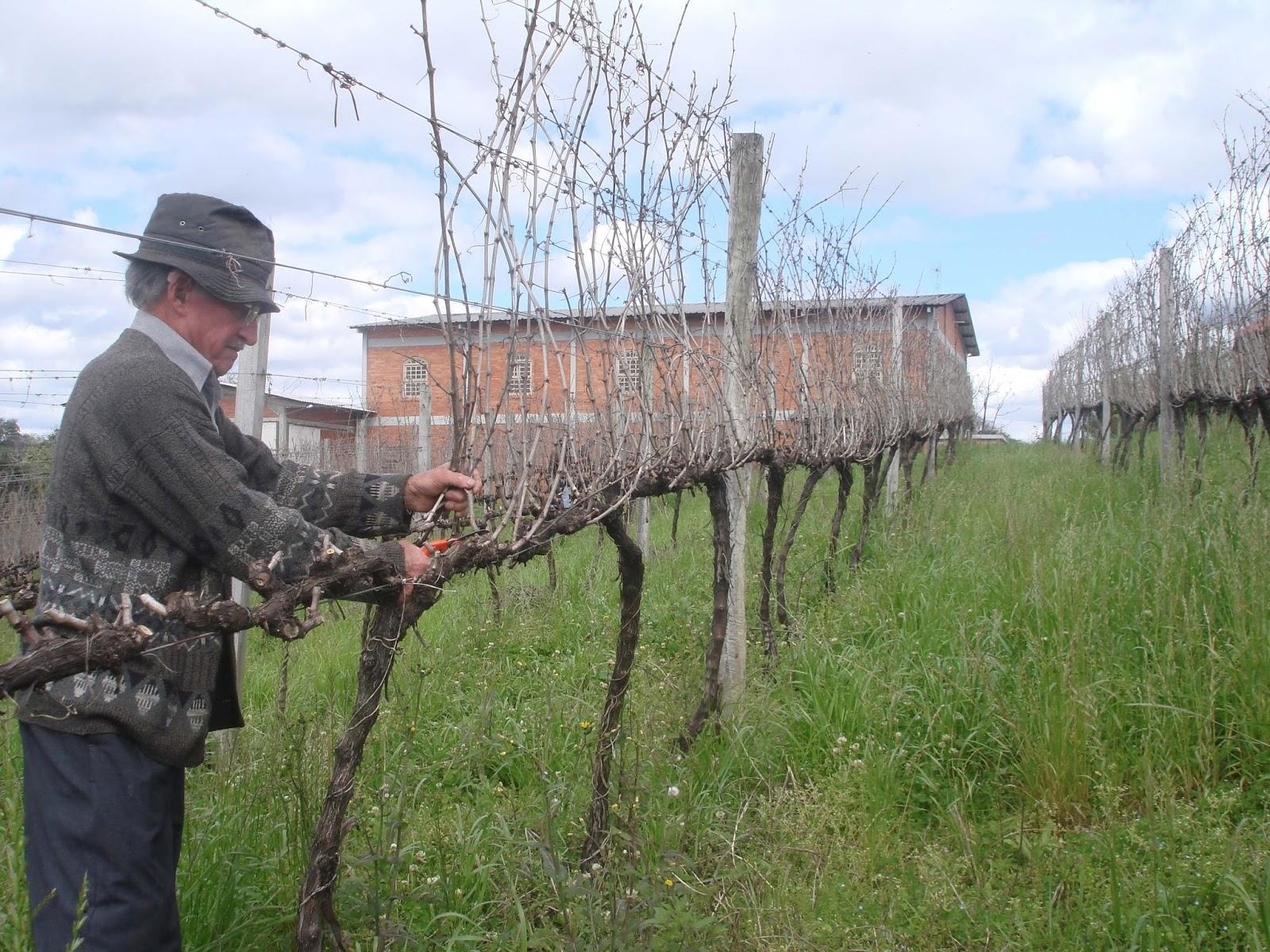 Cordeiro vinhobyucha um dia de poda na larentis - Poda de hortensias epoca ...